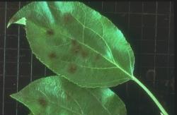 Tâches de tavelure sur feuilles de pommier